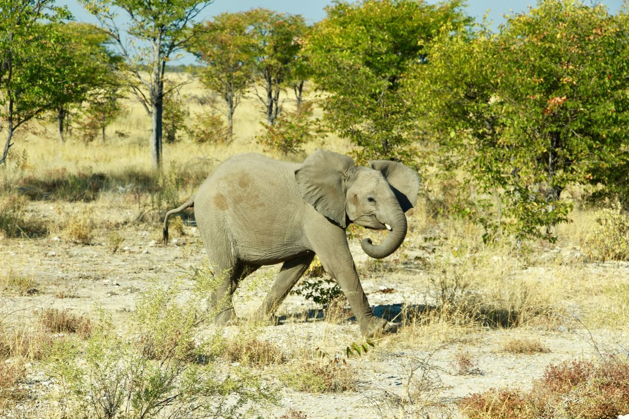 animal themes, one animal, animals in the wild, mammal, elephant, animal wildlife, tree, day, field, safari animals, outdoors, nature, landscape, no people, walking, african elephant, full length, forest, grazing, growth, grass, rhinoceros, beauty in nature, elephant calf