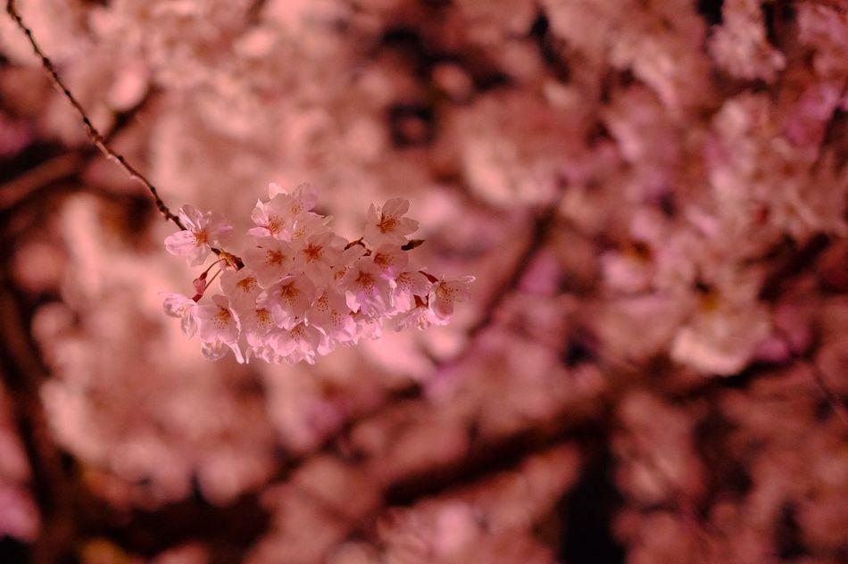 Cherry Blossoms Millennial Pink Flower Nature Photo Phoyography Snap EyeEm Loves EyeEm Pink Pinkpinkpink Kyoto Japan