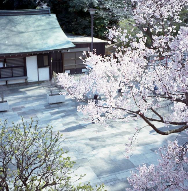 Relaxing Taking Photos Rolleicord ローライコード Film Photography Film Tokyo Eyeemphotography EyeEm Best Shots Sakura 桜 Rolleicord