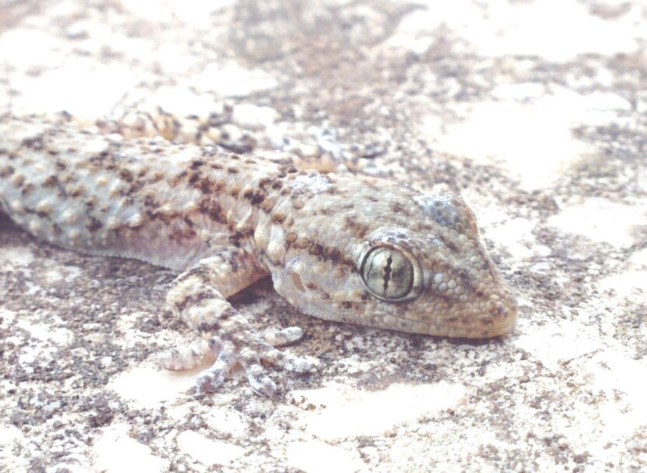 Gecko Mimetic Mimetism