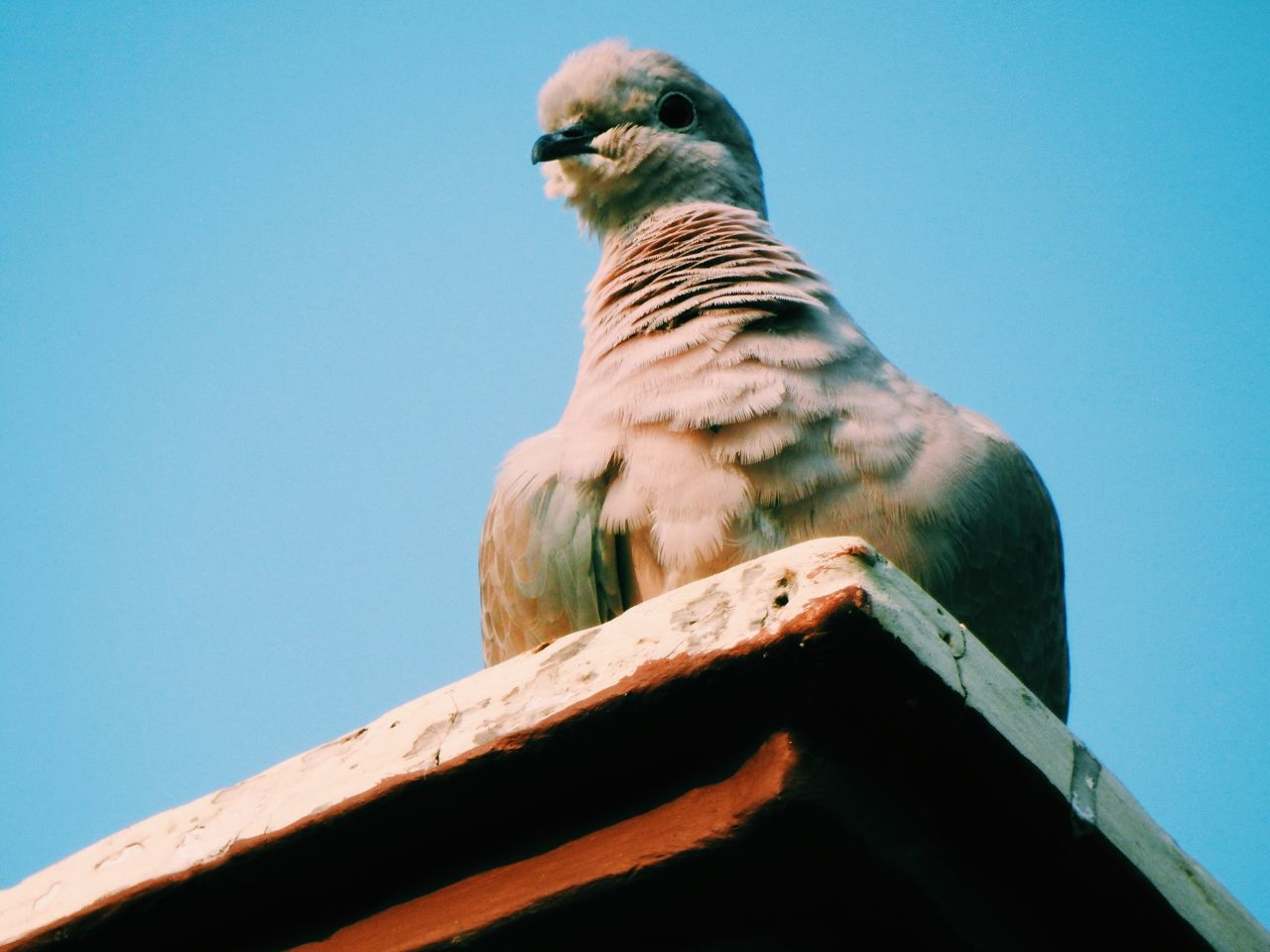 Low Angle View Of Pigeon Perching On Roof Against Clear Blue Sky