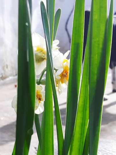 Narcissus Flower Nature Green Color Plant Freshness Beauty In Nature Growth Close-up Fragility Flower Head Day Leaf Outdoors No People