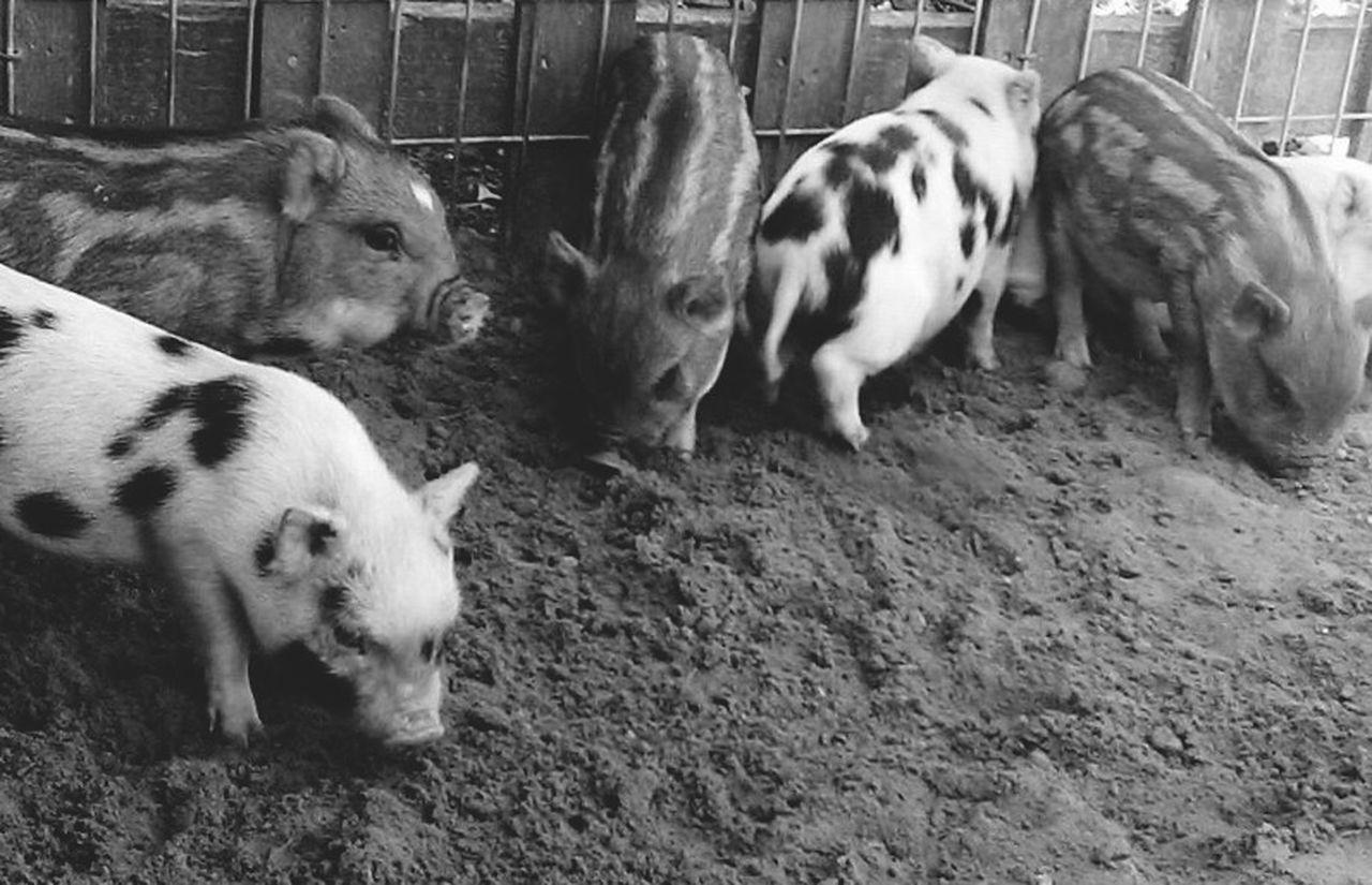 Pigs Pig Baby Animals Cute Oink Zoo Zoo Animals