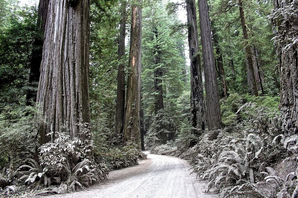 California Forest Growth Jedediah Smith Redwood State Park #jedediah #jedediahsmithstatepark #jedediahsmithredwoods #jedediahsmith #redwoods #forest #beautifulforest #california Nature No People Outdoors Redwoods Tranquility Tree Tree Trunk WoodLand Woods