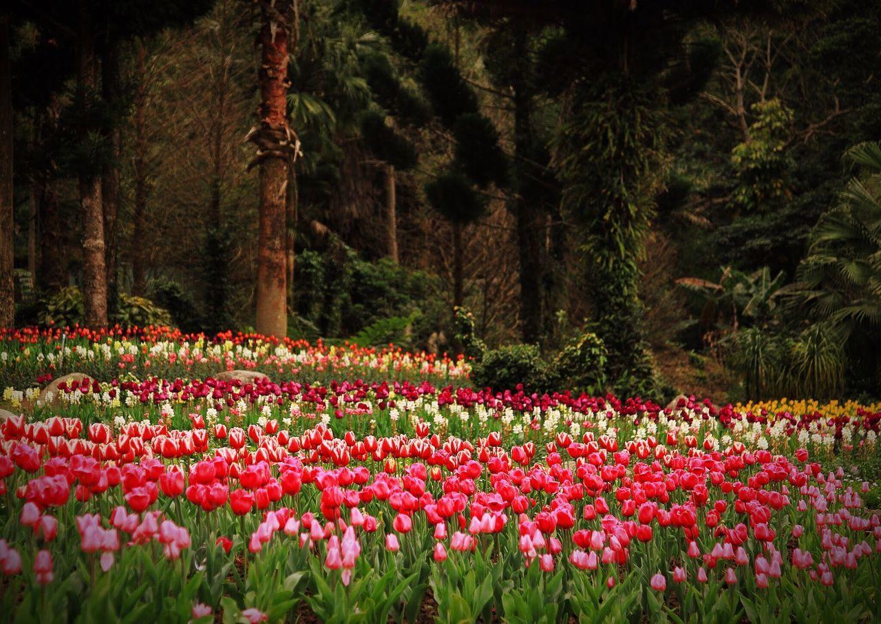 Pink Tulips Growing On Field