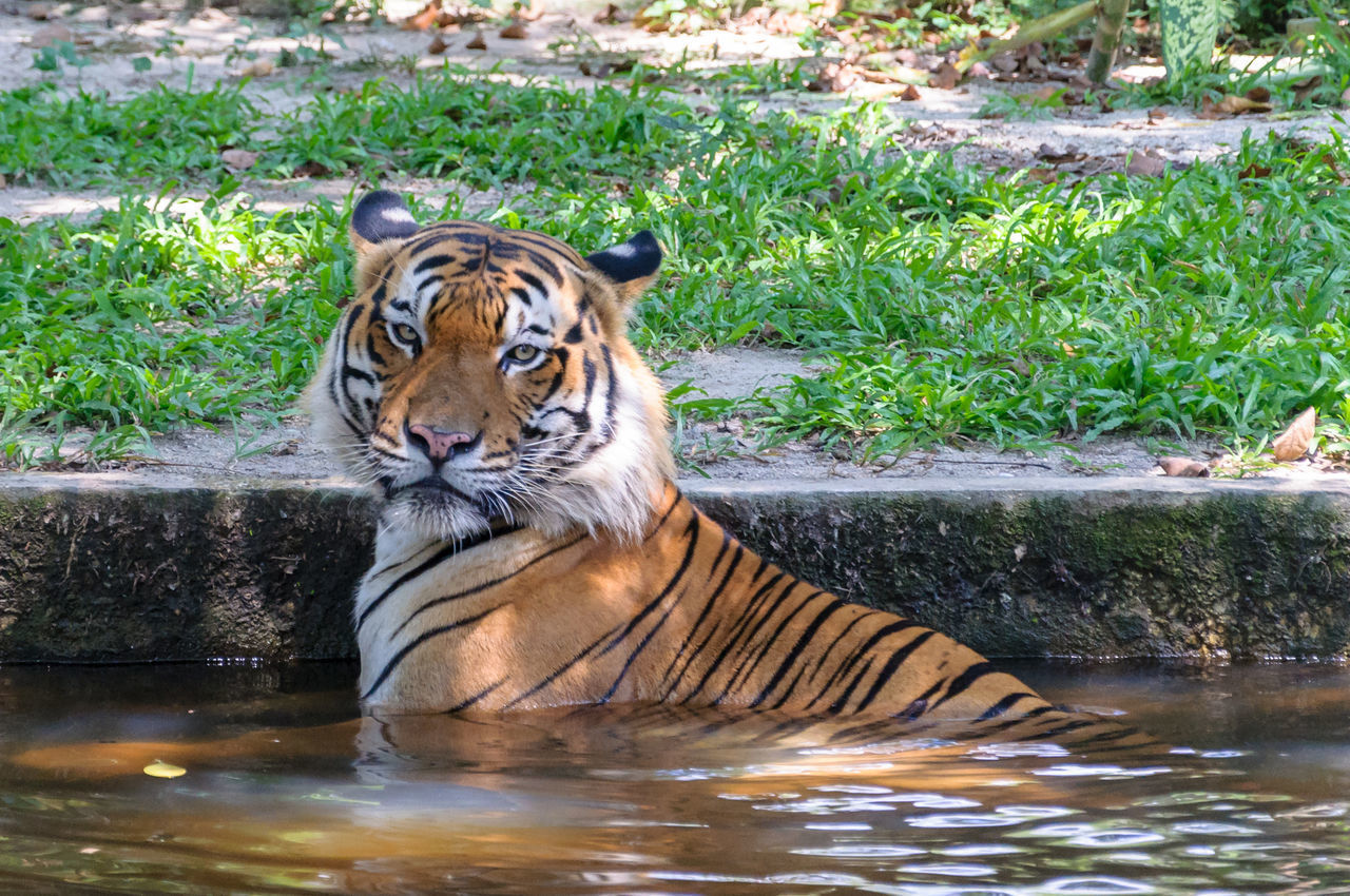 Malayan Tiger (Panthera tigris jacksoni) Taking Refuge From Midday Heat In Pond Animal Themes Animals In The Wild Close-up Dangerous Animals Day Feline Mammal Nature No People One Animal Outdoors Portrait Stripes Pattern Tiger Water Waterfront Wild Wildlife Zoo Zoo Animals  ZOO-PHOTO