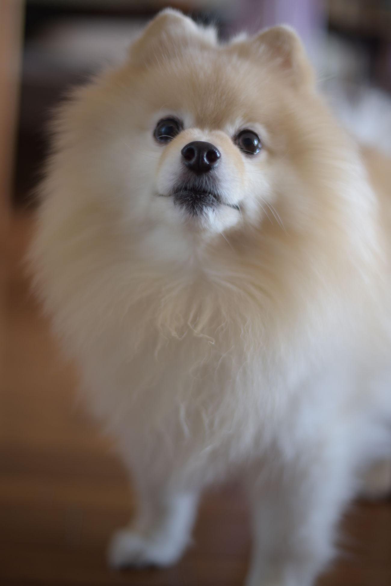 Mylovelydog ポメラニアン Pomeranian EyeEm Dogs Pets