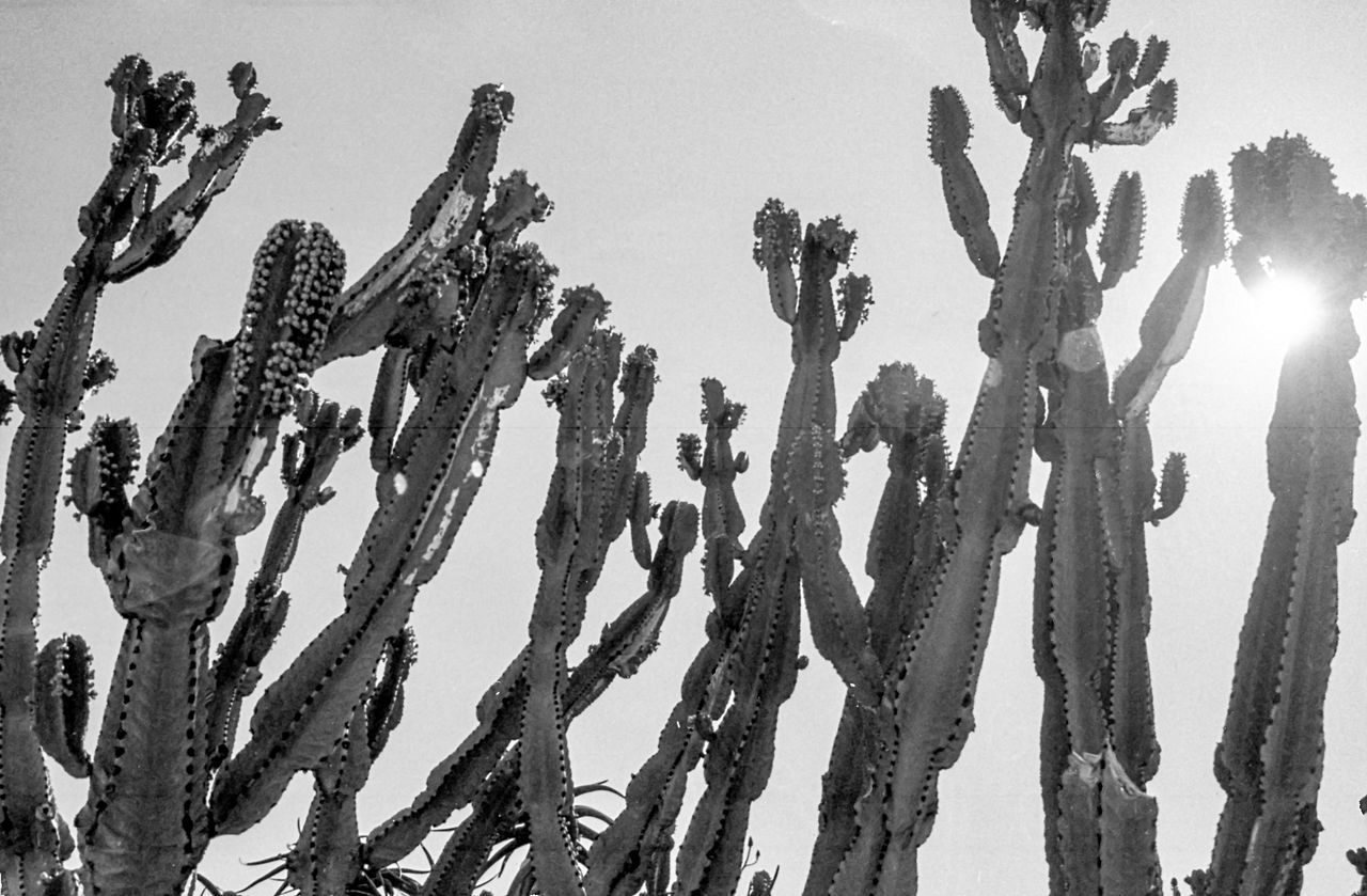 Growth Nature Outdoors No People Cactus Plant Day Tree Low Angle View Beauty In Nature Saguaro Cactus Sky Film Noir Filmcamera Filmisnotdead Film Photography 35mmfilmphotography (null)Canon Film Camera Perspectives On Nature