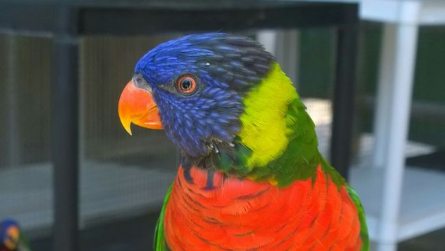 Aquarium Aquarium Of The Pacific Rainbow Lorikeet Rainbow Bird Colorful Beautiful @team Posing For The Camera