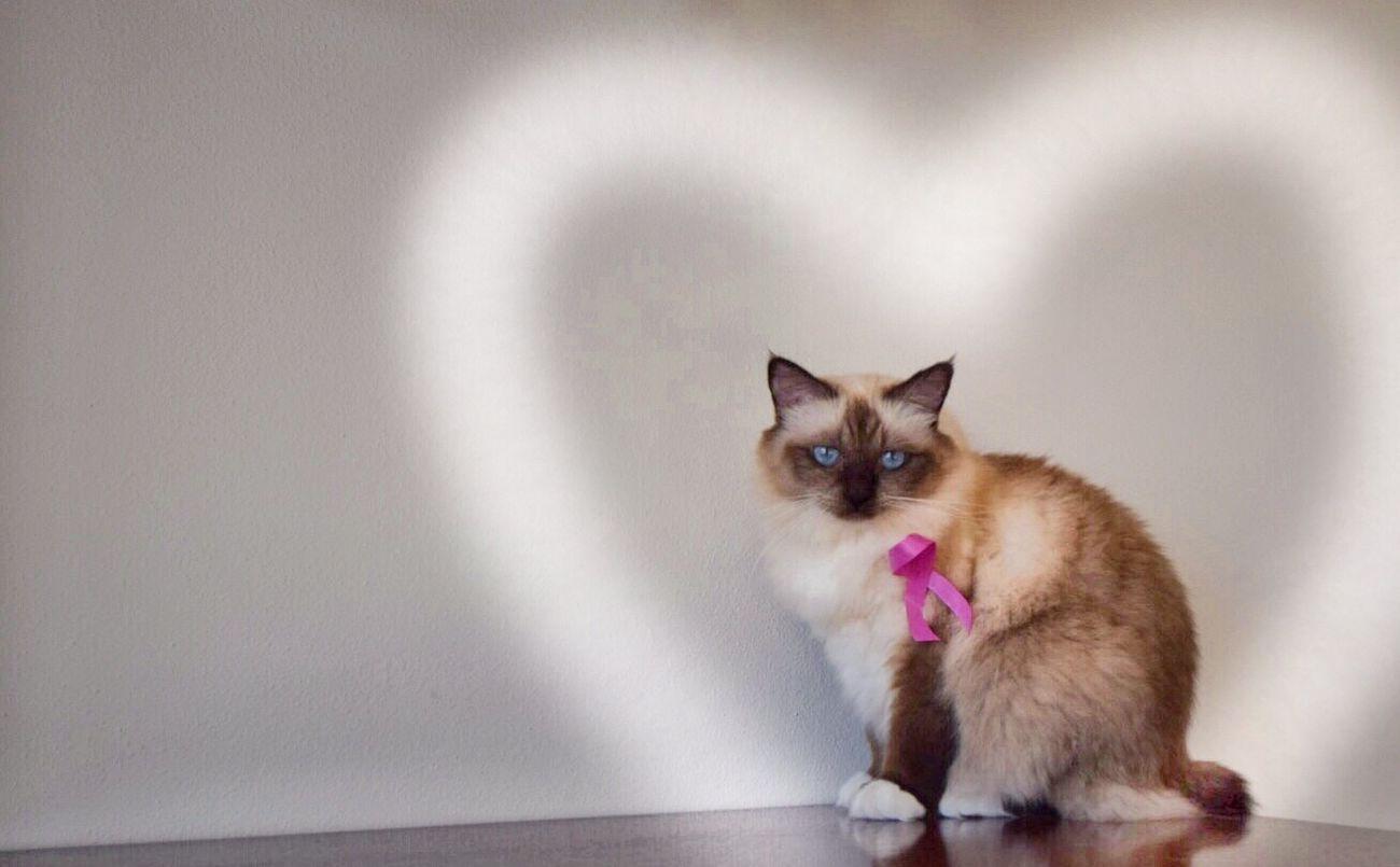 Glitch Prevenzione Birman  Cat Ottobre
