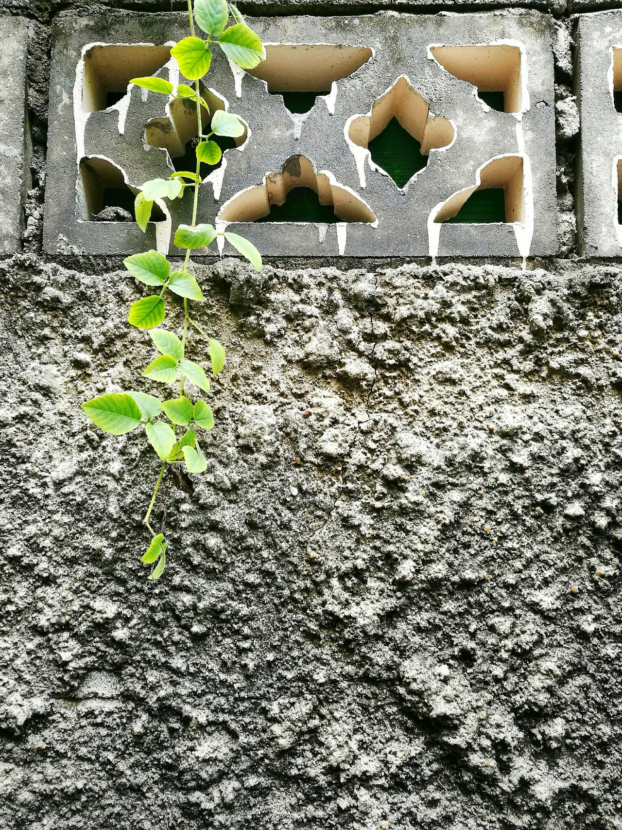 Green leaf on the wall. No People Day Nature Outdoors Close-up Thailand Photos Green Leaf Green Color Wall Wall Art Wall Textures Wall Of Bricks