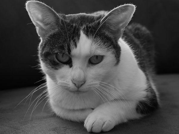 Domestic Cat Pets Domestic Animals One Animal Animal Head  Cute