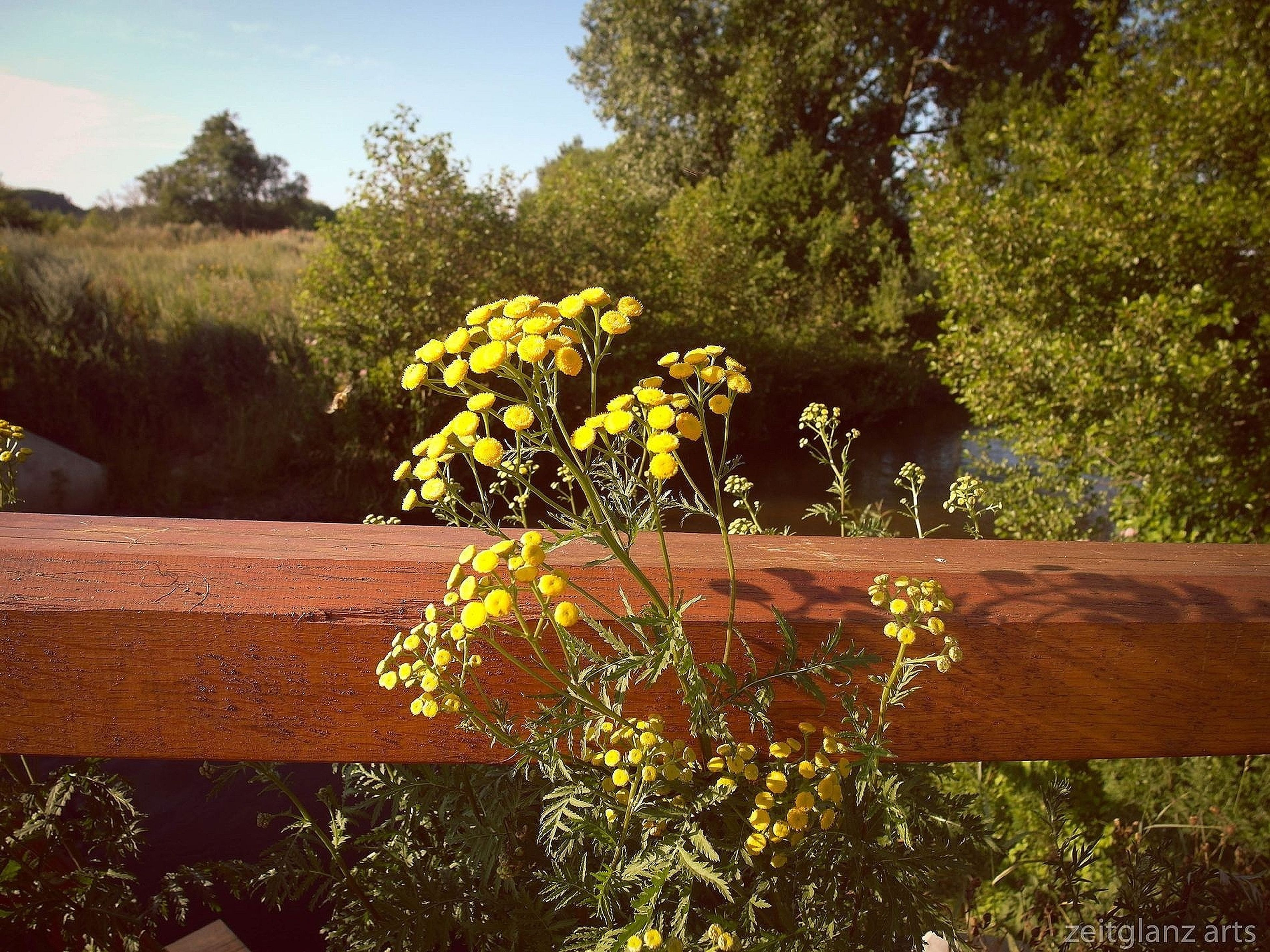 flower, growth, tree, plant, beauty in nature, freshness, nature, wood - material, yellow, fragility, tranquility, green color, park - man made space, wooden, day, outdoors, railing, fence, blooming, no people