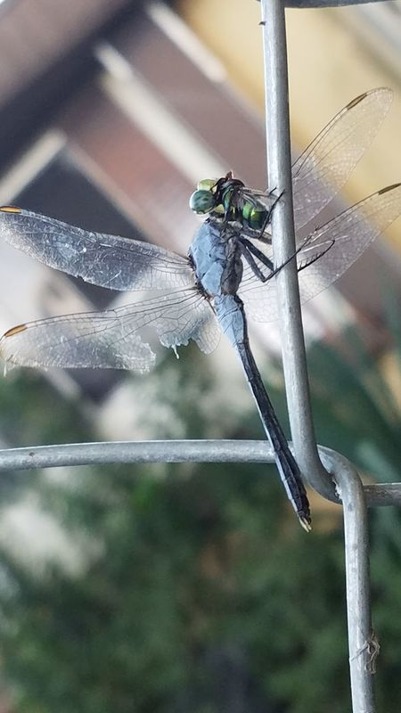 Dragonfly Zoology Nature No People Insect Close-up Wildlife Texas Broken Wing Dragonfly Closeup Eating Bugs Intresting Cool Fun Facts Life One Animal Animal Themes Animals In The Wild Wildlife Insect Focus On Foreground Close-up Full Length Dragonfly Zoology