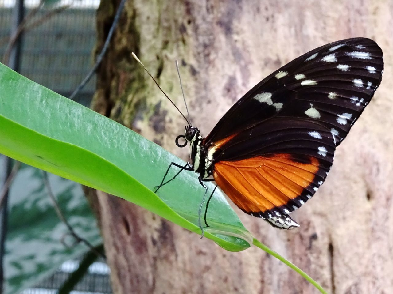 insect, butterfly - insect, animals in the wild, animal themes, one animal, nature, focus on foreground, outdoors, close-up, day, animal wildlife, butterfly, no people, leaf, animal markings, beauty in nature, full length, freshness