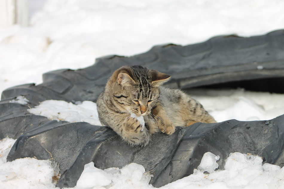 Animal Themes Day Domestic Animals Domestic Cat Feline Laziness Leopard Mammal No People Outdoors Pets Saguenay, Québec, Canada Stable Life Tabby Cat Yawning EyeEmNewHere