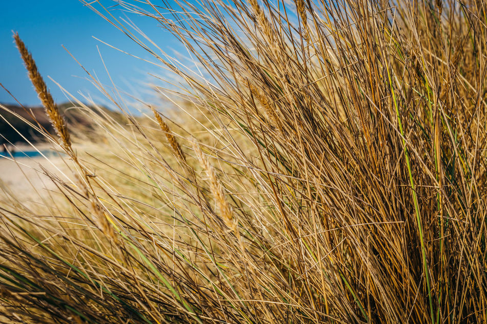Agriculture Beah Beauty In Nature Cereal Plant Close-up Crop  Farm Field Grass Growing Growth Nature No People Outdoors Plant Reed - Grass Family Rural Scene Stalk Straw Tranquility Wheat