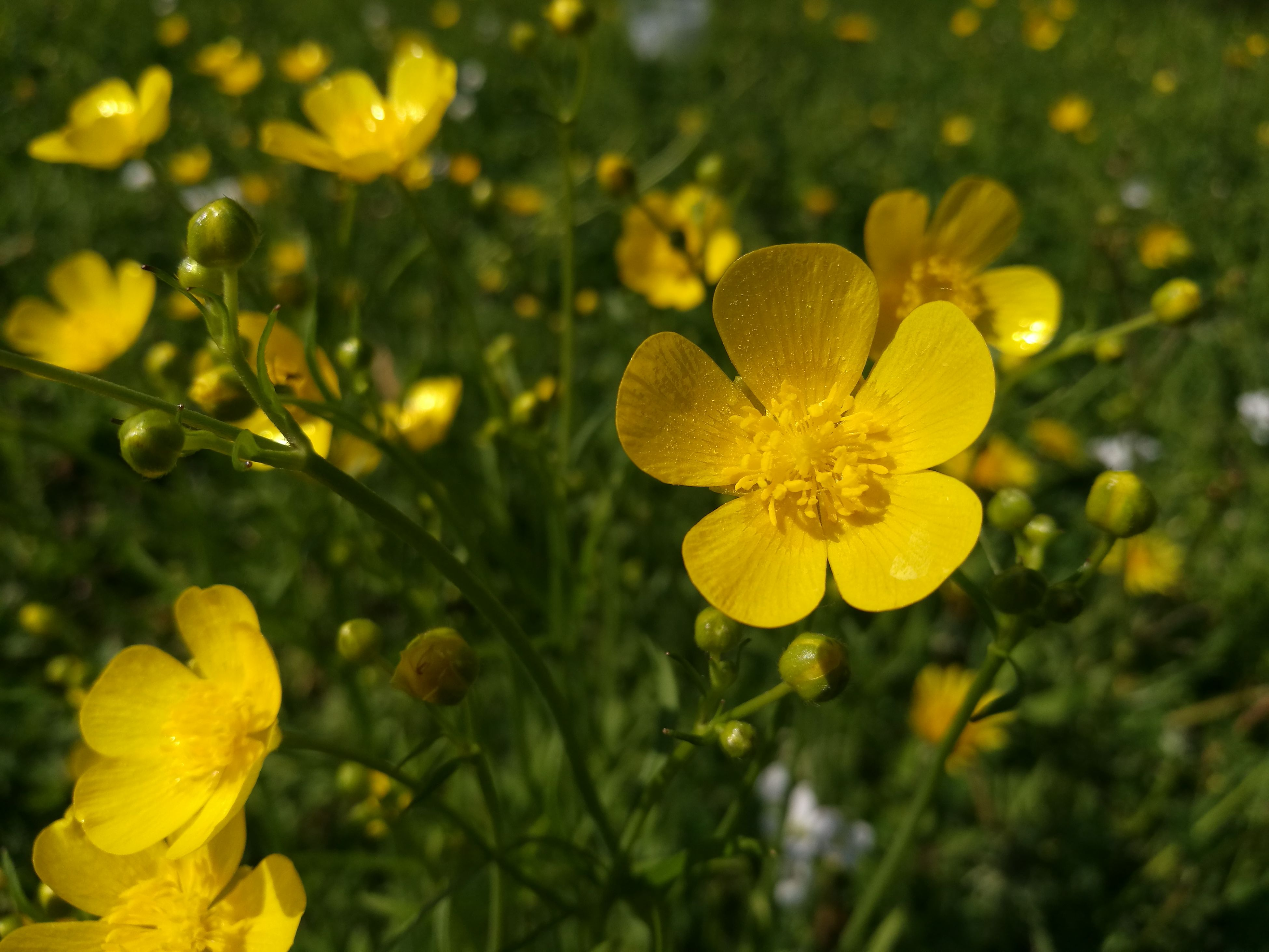 yellow, flower, growth, petal, nature, fragility, beauty in nature, plant, freshness, flower head, blooming, outdoors, no people, close-up, day