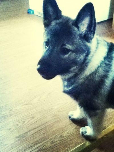 Puppy #norwegian Elkhound
