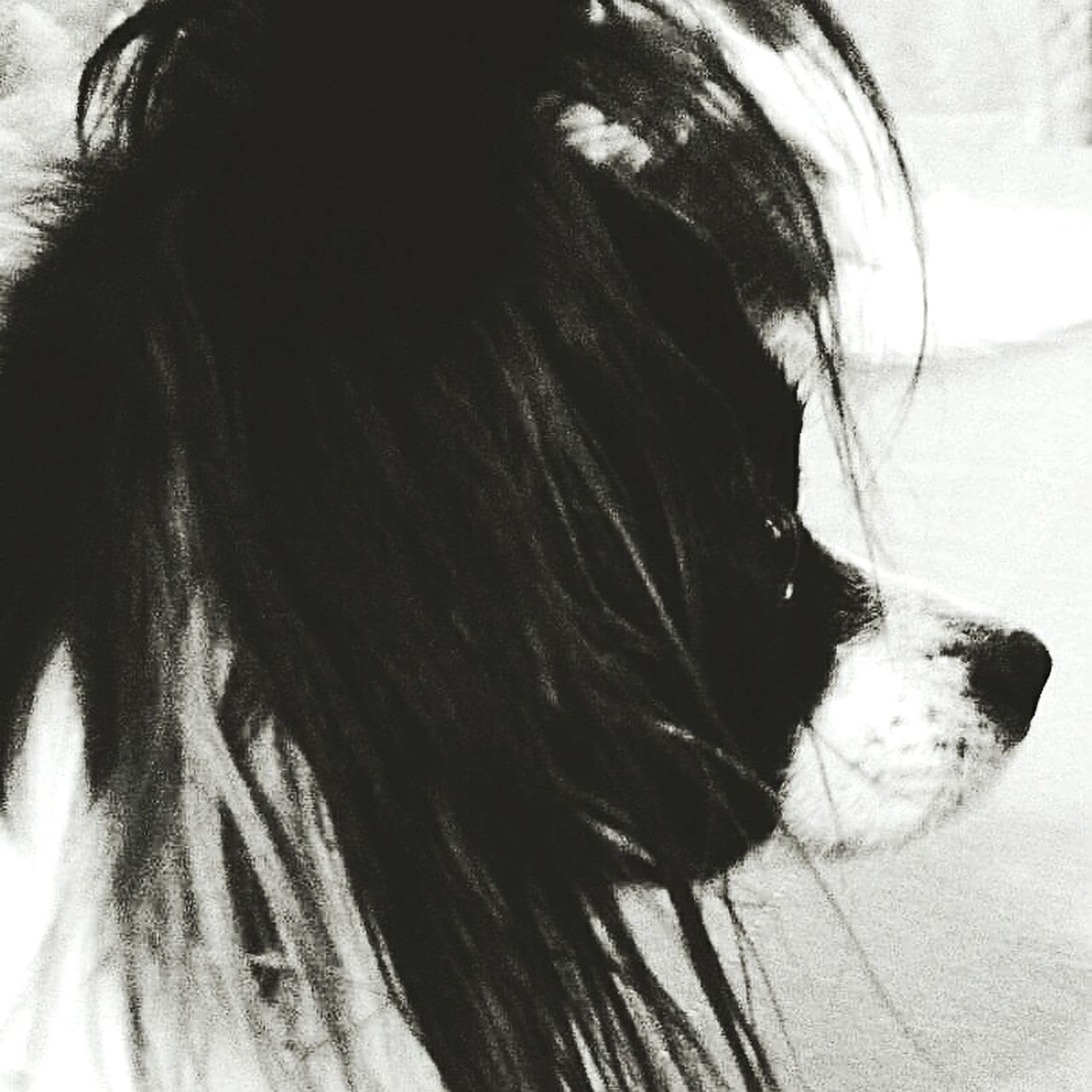 Dogoftheday Dog Photography Dogsofinstagram Dogs Of EyeEm Eyeem Photography Papillon Dog Papillion Animal Photography No People My Photography Doglover Eyeemphotography Portrait Domestic Animals Pets One Animal Dog Eyeemphoto Animal Themes Papillons Papillon Papillion, Dog, Cute, Precious, Furry EyeEm The Best Shots EyeEmbestshots Close-up
