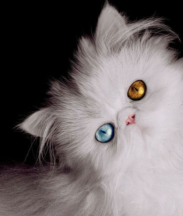 Cute :) Odd Eye Cat Persian