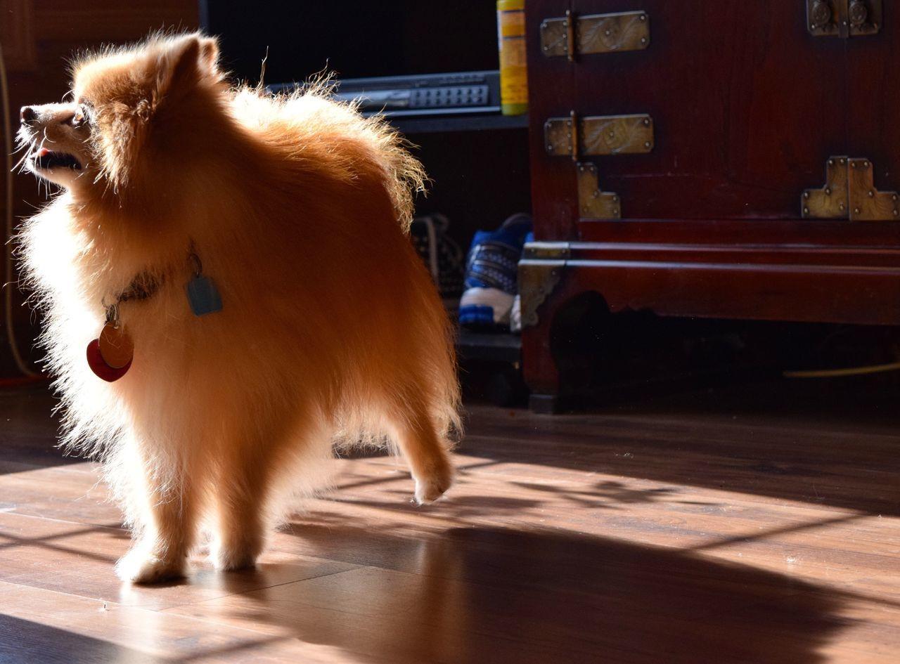 Pomeranian Dog At Home On Sunny Day