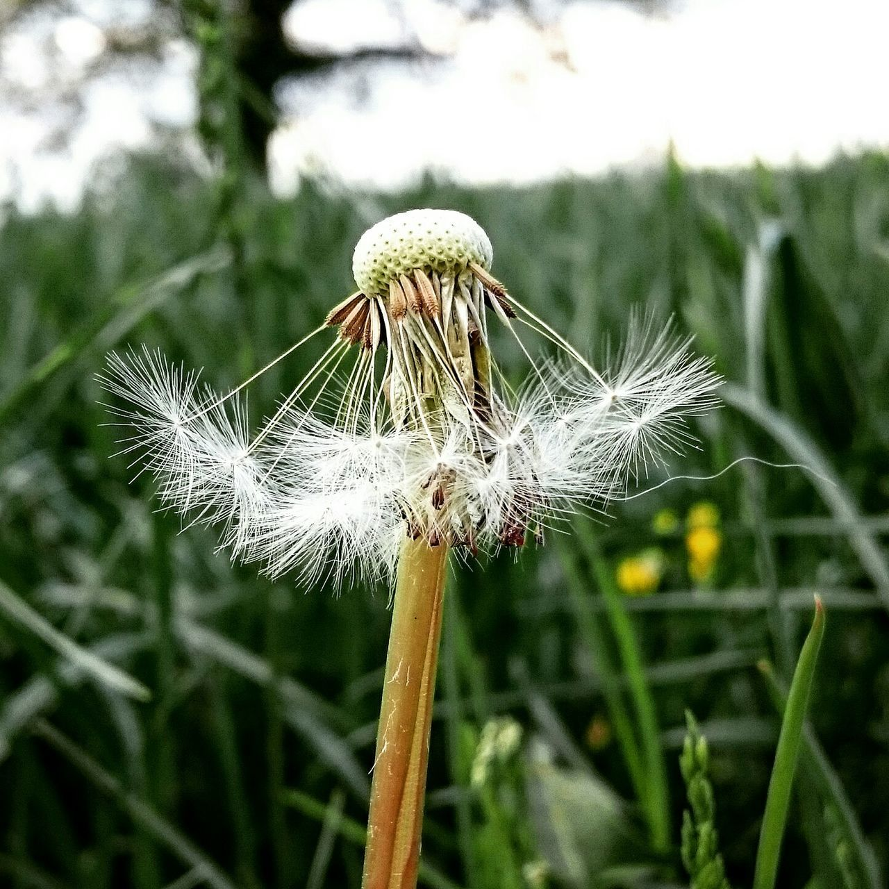 Close-Up Of Blown Dandelion In Field