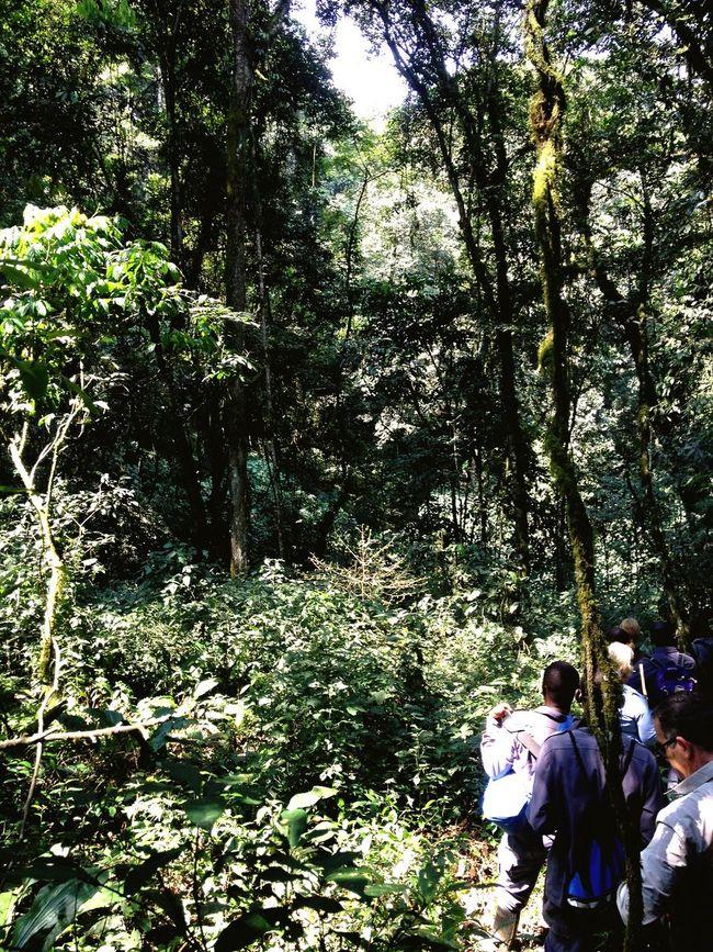 Impenetrable rainforest Rwanda Forest Nature Beauty In Nature Eyeemphoto Rwanda Gorilla Trek Trekking