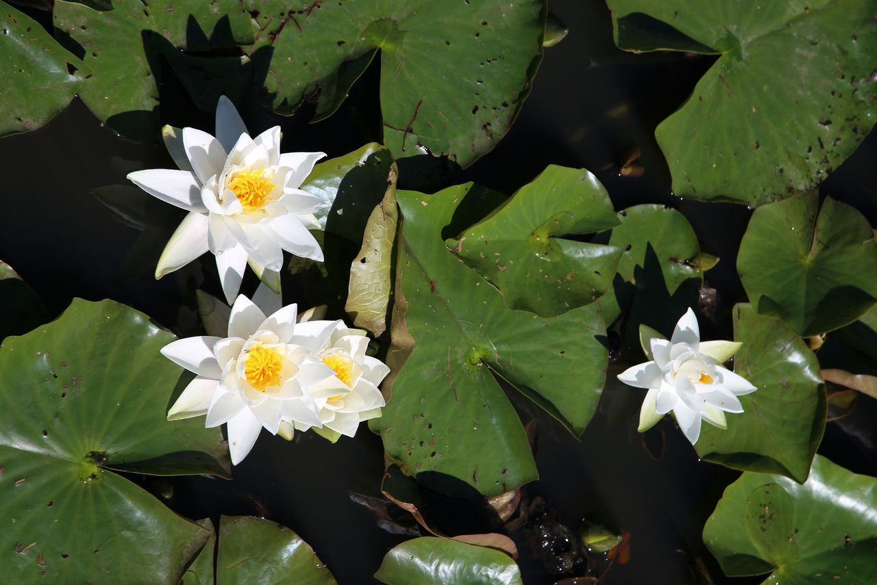 Beauty In Nature Blooming Blossom Botany Close-up Day Flower Flower Head Focus On Foreground Fragility Freshness Green Color In Bloom Leaf Lilies Lilies In Bloom Petal Plant Pollen Stamen Water Lillies Water Lily Water Lily, Flower White White Color