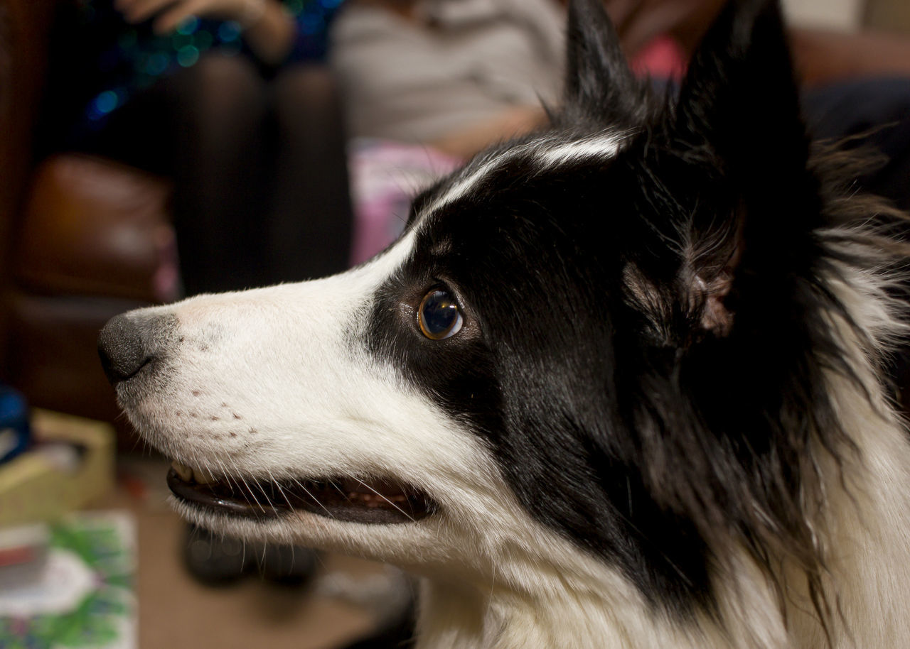 Close-Up Of Border Collie Dog At Home