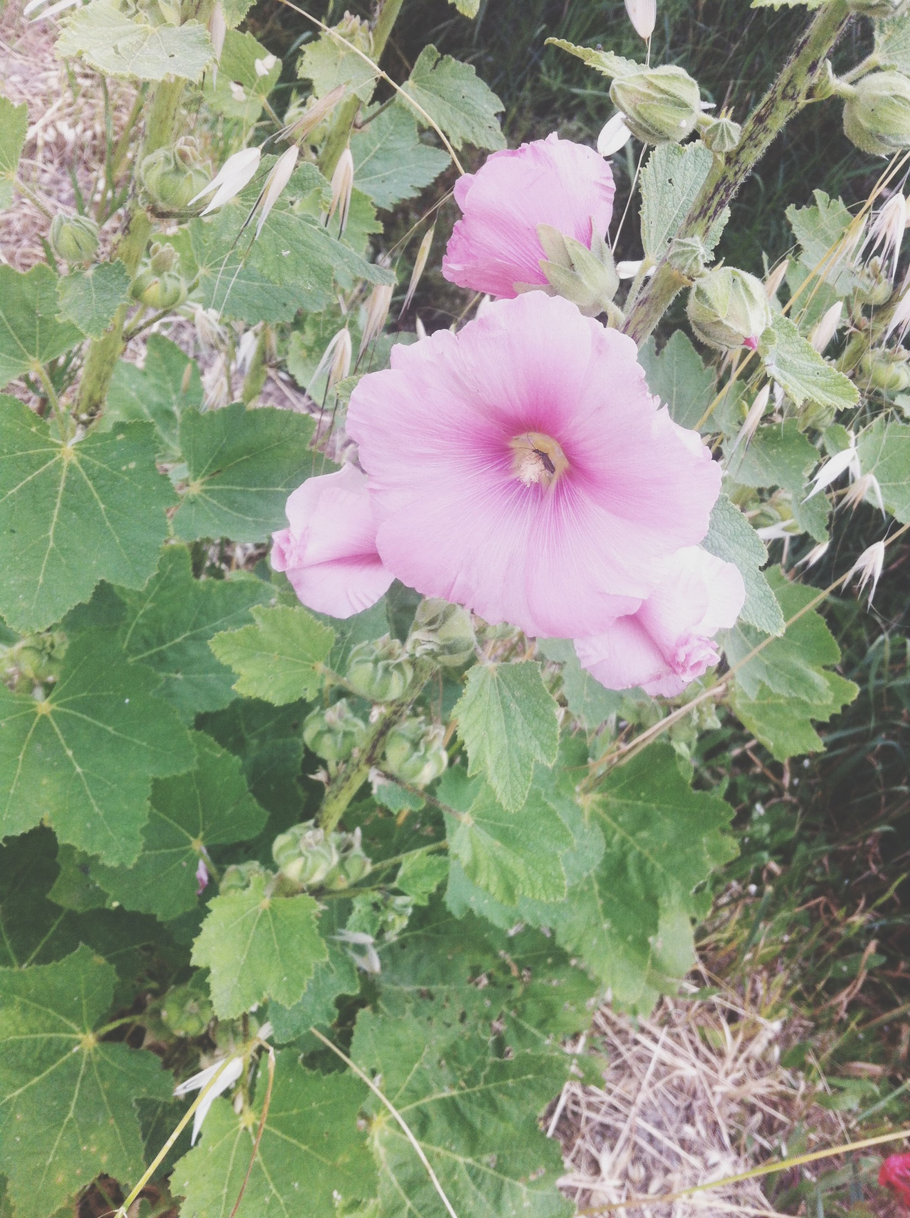 flower, freshness, growth, leaf, fragility, beauty in nature, plant, pink color, petal, nature, blooming, green color, flower head, close-up, high angle view, in bloom, day, outdoors, springtime, field