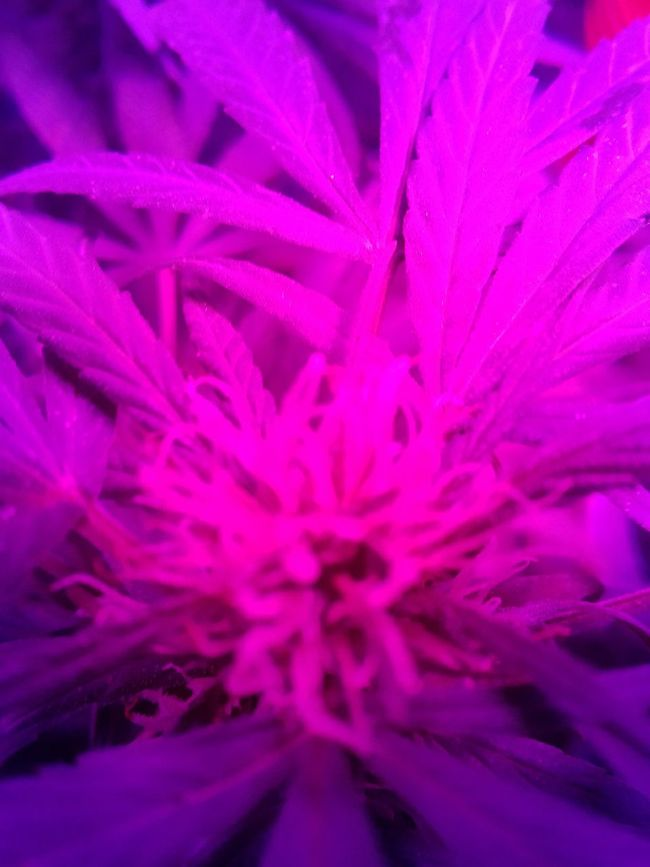 Canabisculture Canabis Homegrown Indoor LED