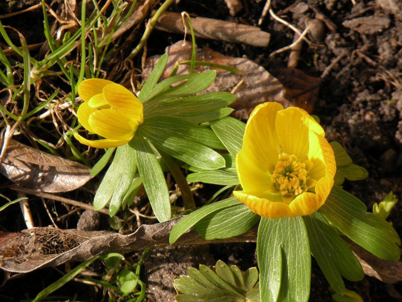 Yellow Growth Nature Plant Outdoors Flower Flower Head Field Fragility Beauty In Nature Freshness Close-up No People Day Aconite Winter Aconite Spring Springtime Spring Flowers Spring Has Arrived Eranthis Eranthis Hyemalis Erantis - in The Danish Countryside