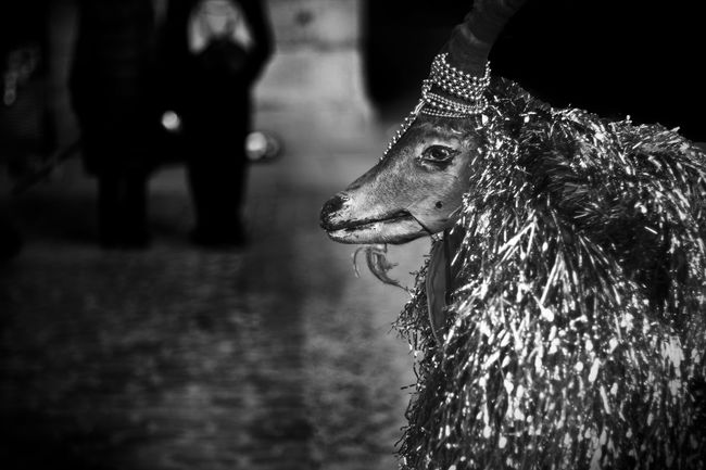 Adorn Animal Themes B&w Street Photography Bokeh Christmas Time Up Close Street Photography The Tourist Decoration Eyes Face Fur Goath Irony Loneliness Lonely Make Up Muzzle Nylon Plastic Fur Sadness Sheep Street Street Art Street Photography