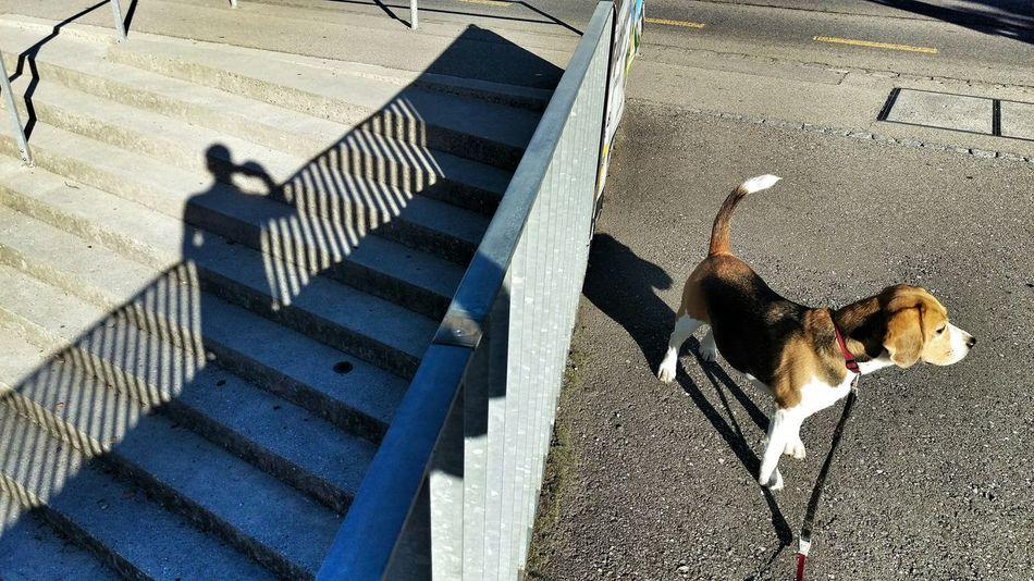 Beautiful stock photos of beagle, Animal Themes, Day, Dog, Domestic Animals