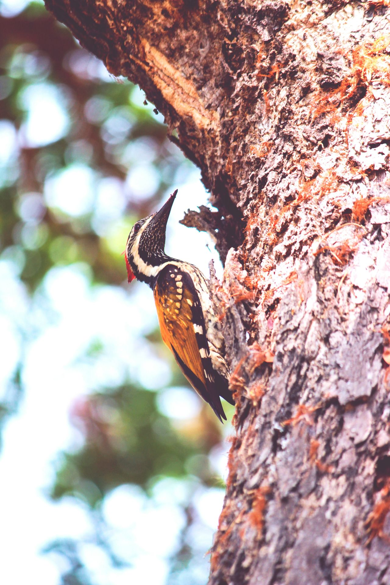 Woodpecker Pecking Woodpecker In Tree Bird Birds Of EyeEm  Animal Themes Tree Outdoors Tree Trunk Low Angle View Nature Close-up Beauty In Nature Bird Of Prey Sky Day No People