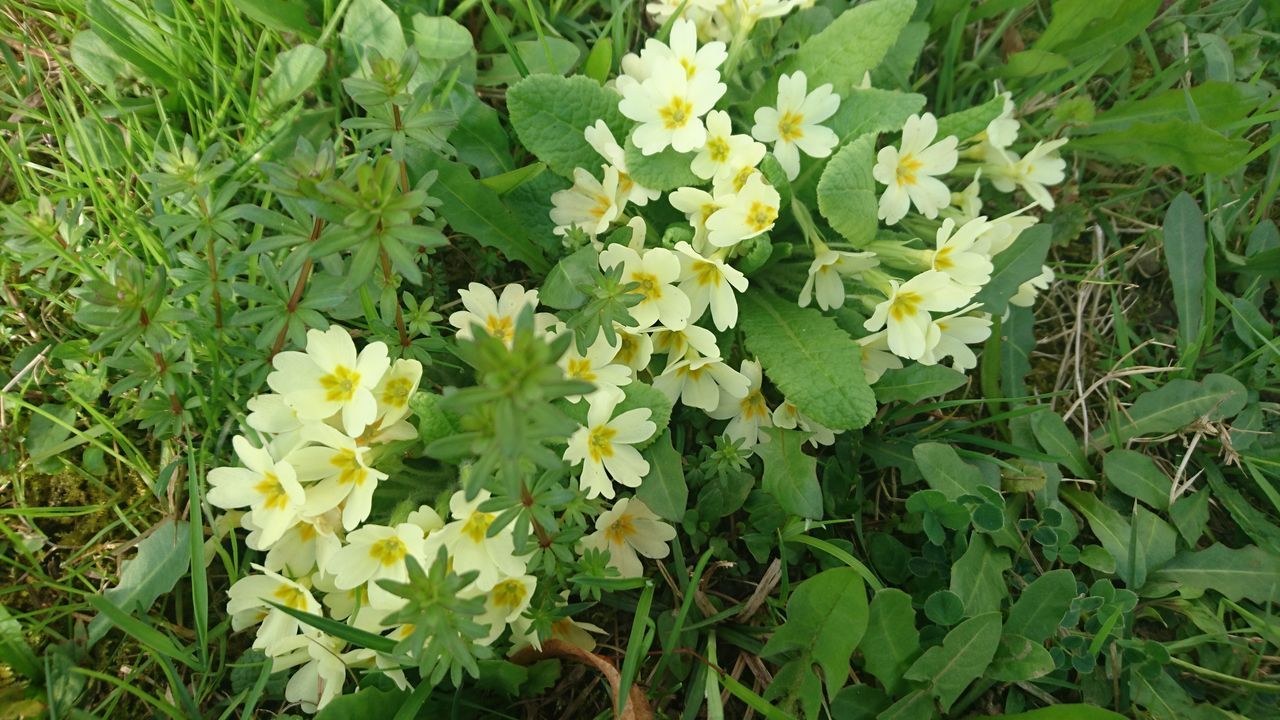 Beauty In Nature Blooming Close-up Day Field Flower Freshness Green Color Growth Nature No People Outdoors Primrose