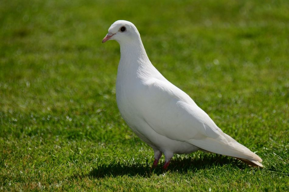 Beautiful stock photos of dove, Animal Themes, Animals In The Wild, Bird, Close-Up