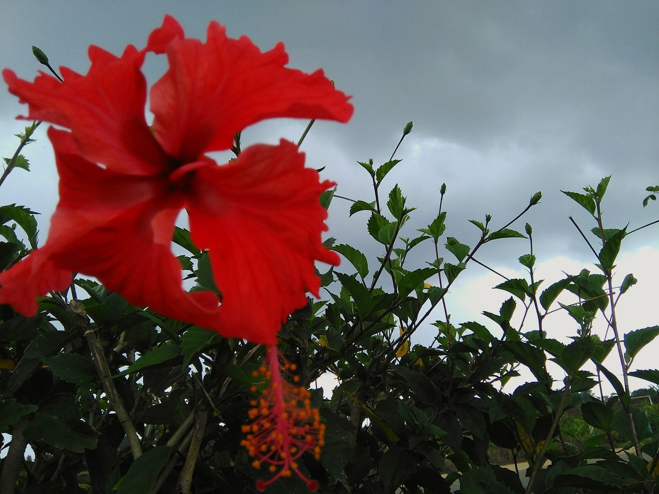 red, flower, fragility, petal, growth, beauty in nature, nature, no people, flower head, hibiscus, plant, freshness, day, outdoors, low angle view, leaf, blooming, close-up, sky