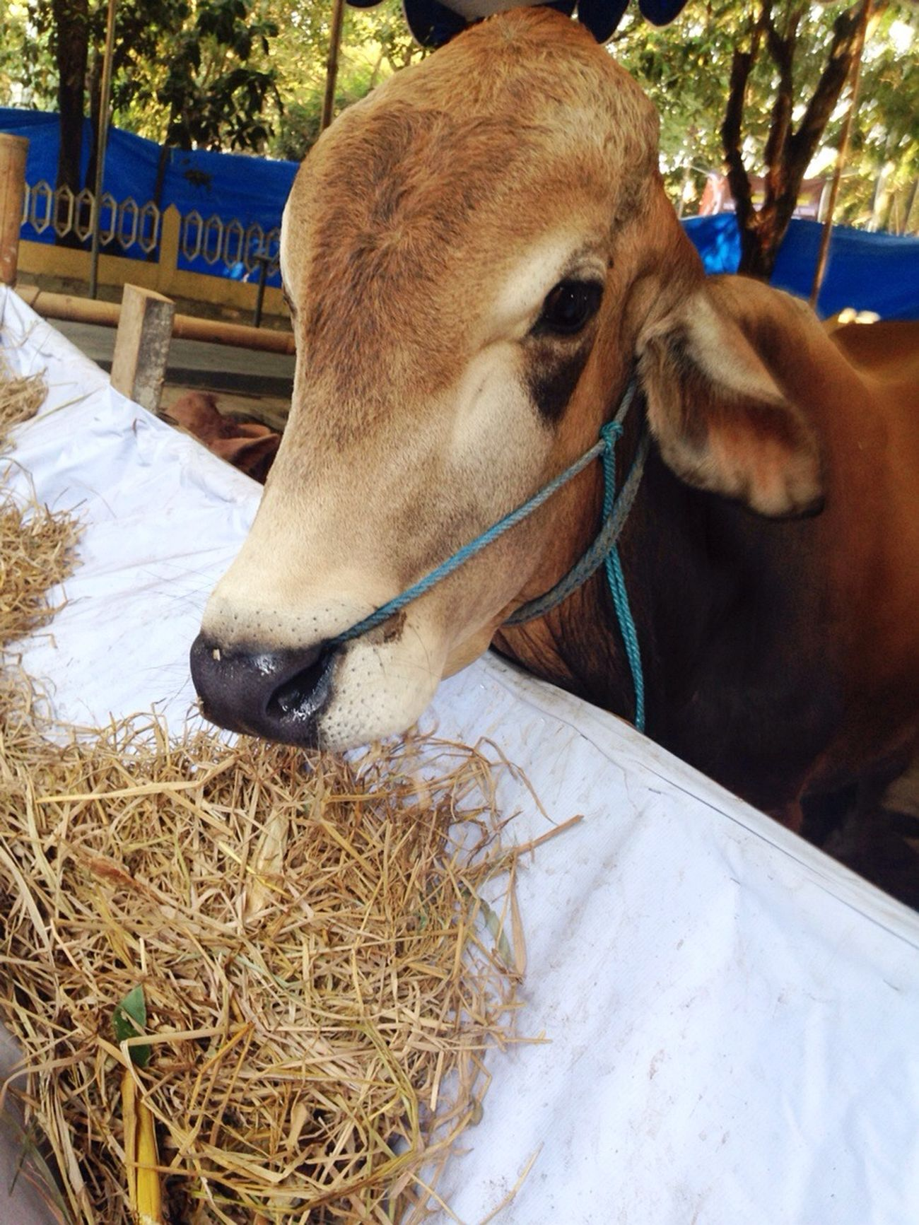Cow.. Pets By ITag Animal By ITag