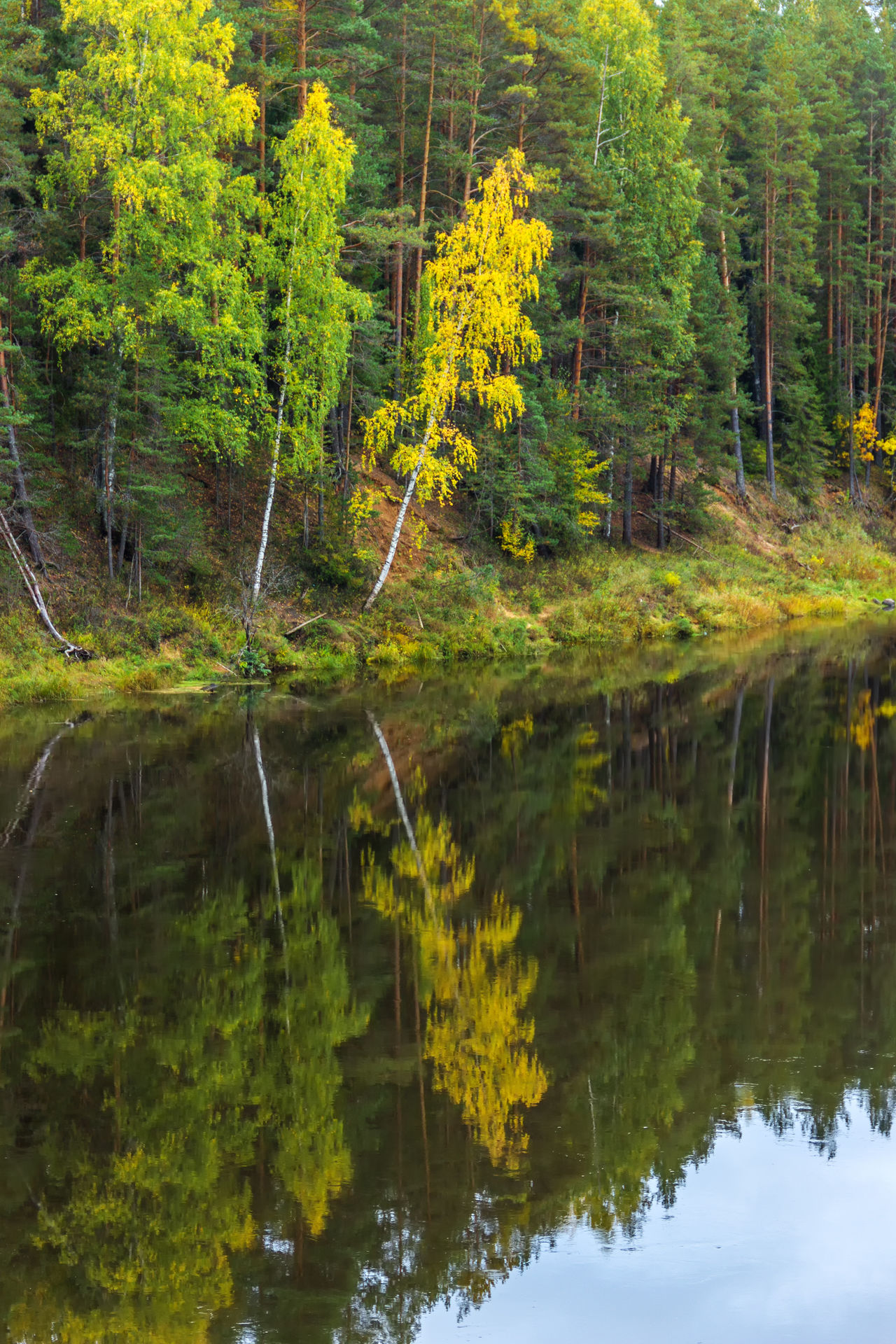 Reflection of trees in water of the river Mologa. Steep Bank with trees reflected in the water. Beauty In Nature Day Forest Growth Lake Landscape Mologa Nature No People Outdoors Plant Reflection River Scenics Tranquility Tree Water Yellow