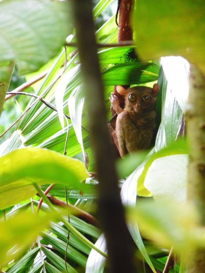 Tarsier One Animal Animal Wildlife Nature Tree Tarsier In A Tree Animal With Big Eyes Big Eyes Smallest Primate Focus On Subject Zoomed In The Great Outdoors - 2017 EyeEm Awards South East Asia The Week On EyeEm Pet Portraits