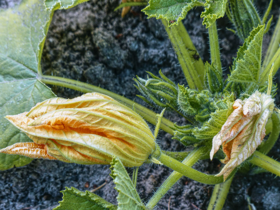 budding courgette flowers in a vegetable garden Beauty In Nature Budding Flower Close-up Courgette COURGETTE FLOWERS Eindhoven Gardening Green Color Growth Insect Leaf Nature No People Outdoors Plant Vegetable Garden Vegetables Wasven Yellow Flower Affinity Photo