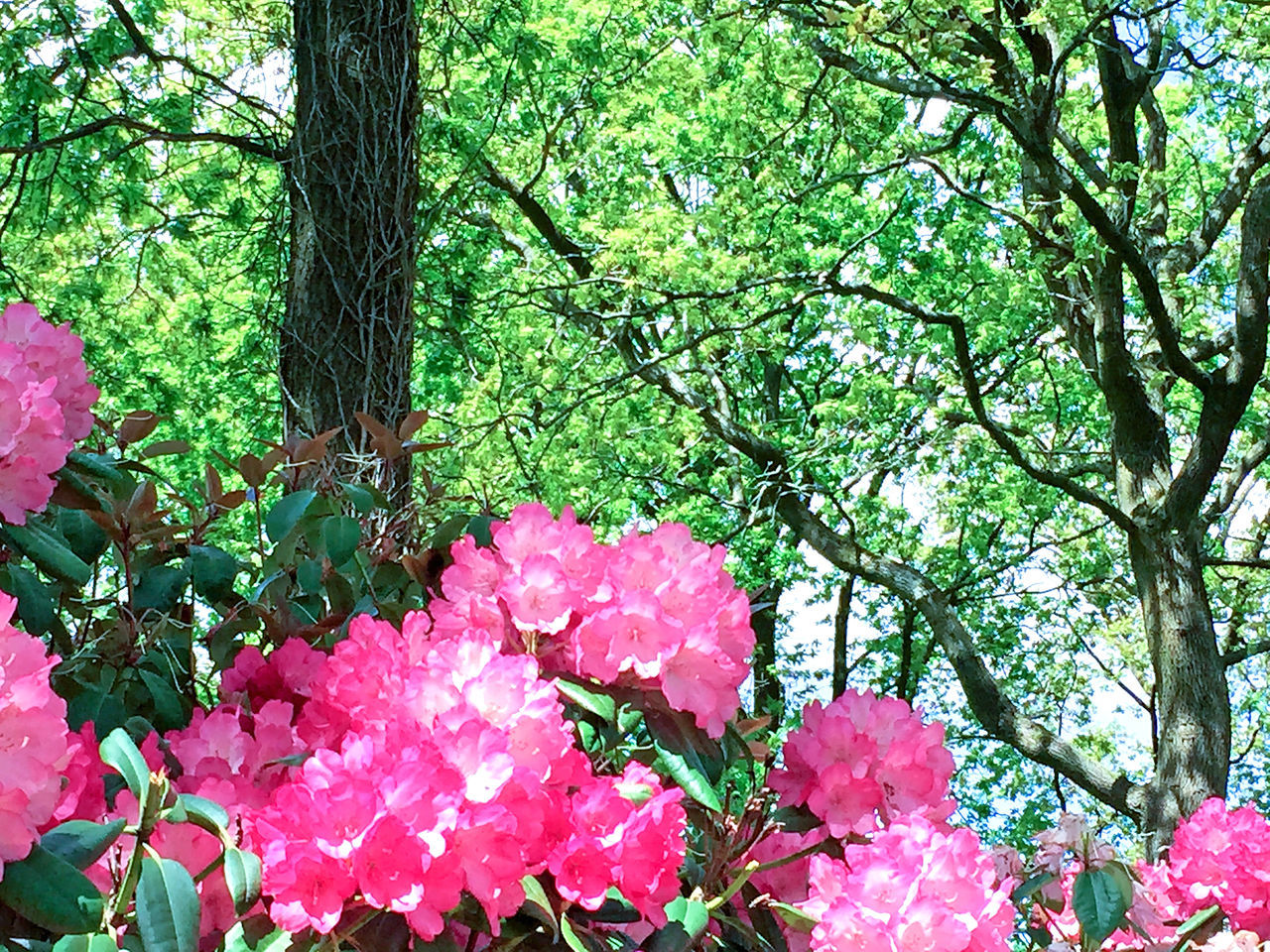 Rhododendron in the city park under spring Beauty In Nature Beauty In Nature Branch Bushes Colorful Day Flora Flower Fragility Freshness Grass Green Color Growth Images Nature No People Outdoors Park Park - Man Made Space Petal Pink Color Rhododendron Stock Image Tree Tree