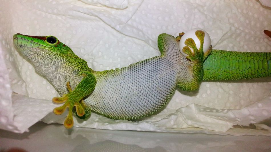 """""""Greedy-Gein"""" (Phelsuma grandis, female) ist just laying eggs. 2017-04-16, 4:08pm. Laying Laying Eggs Egg Eggs... Greedy Sensation New Life & New Hope New Life Grows Animal Themes Special_shots Hello World Born To Be Beautiful Jurassic World Of Dino's Check This Out Special Shot Especially Exotic Creatures Wonderful Nature God's Beauty Dino's Photography Green Colors Green Animal New Life.... Green Color Close-up EyeEm Diversity"""