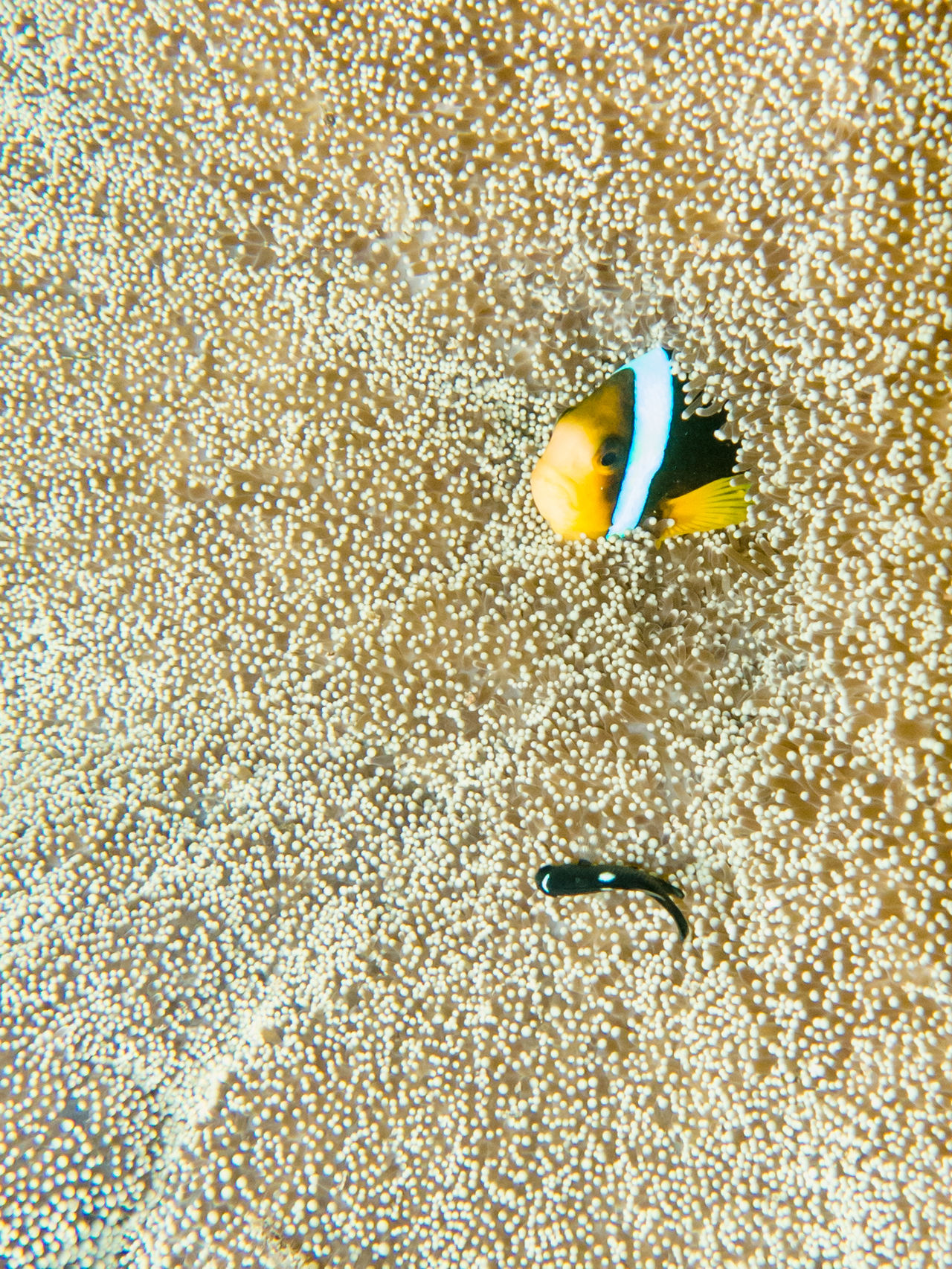 Anemone Animal Themes Beach Close-up Clownfish Day Fish Gold Colored Nature Nature_collection No People Ocean Outdoors Sand SCUBA Scuba Diving Scubadiving Textured  UnderSea Underwater Underwater Photography Underwater World Underwaterphotography Wildlife Yellow