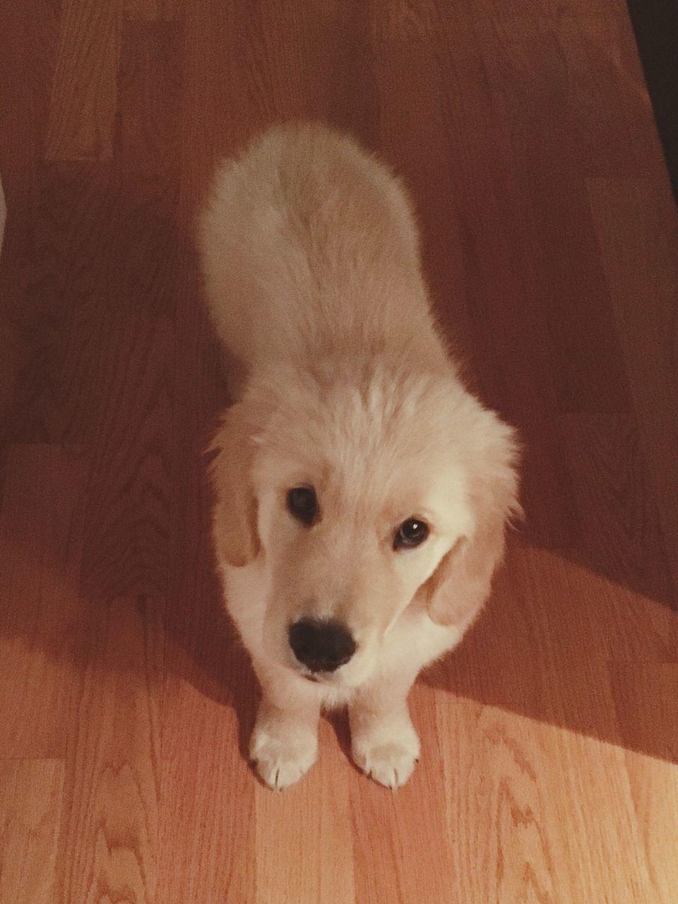 High Angle Portrait Of Dog Standing On Hardwood Floor