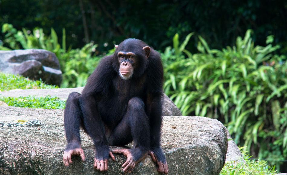 Beautiful stock photos of schwarz, Animal Themes, Animal Wildlife, Animals In The Wild, Chimpanzee