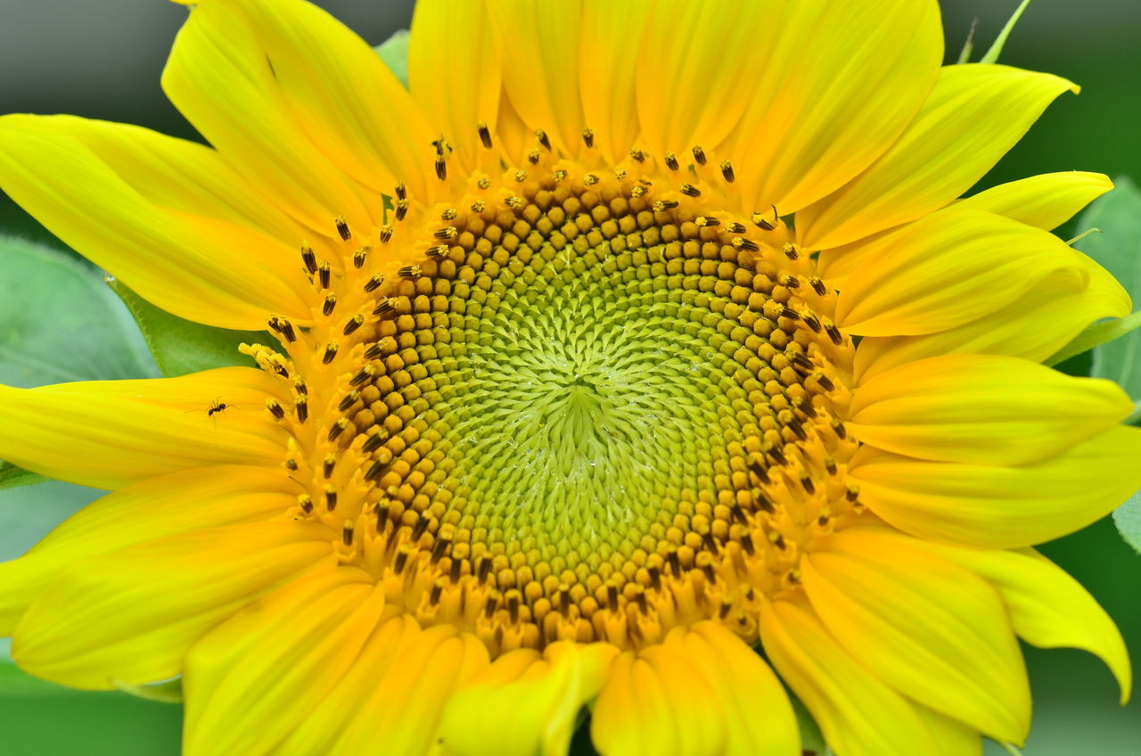 Beautiful stock photos of sonnenblume, Beauty In Nature, Detail, Extreme Close Up, Flower