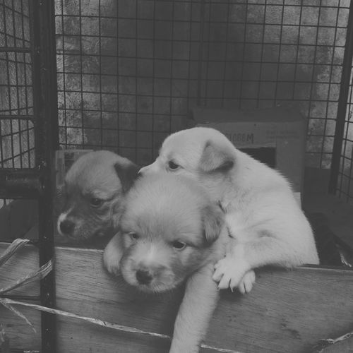 Puppies Dog Domestic Animals Pets Mammal Animal Puppy Cage Young Animal